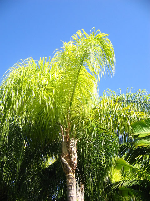 Nutrient Deficient Queen Palm